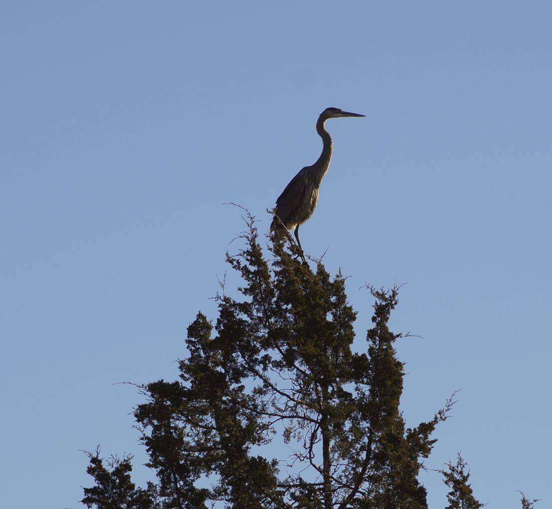 Great Blue Heron in the Woods
