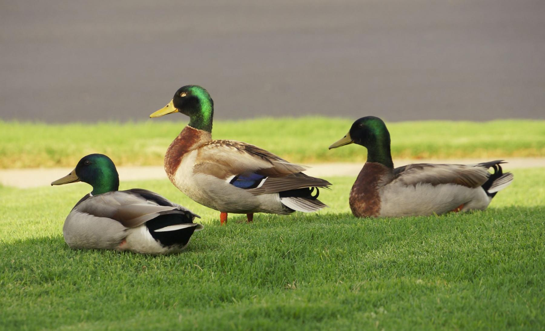 Ducks on My Front Lawn!