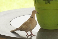 Dove on My Firepit