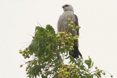 Hawk or Eagle in Kimberly Crossing Tree?