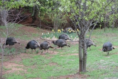Turkeys in the Park
