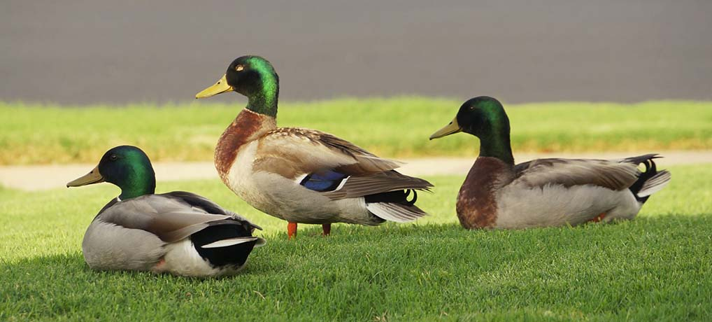 Ducks in My Yard in KC!